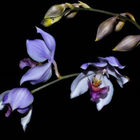 Acacallis rosariana