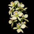 Anacheillium radiatum